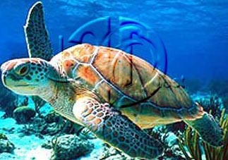 File:Sea turtle.jpg