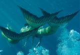 Mermaid Tails
