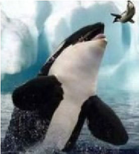 File:Killerwhales.png
