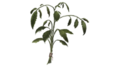 Dried-nettle.png