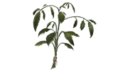 File:Dried-nettle.png