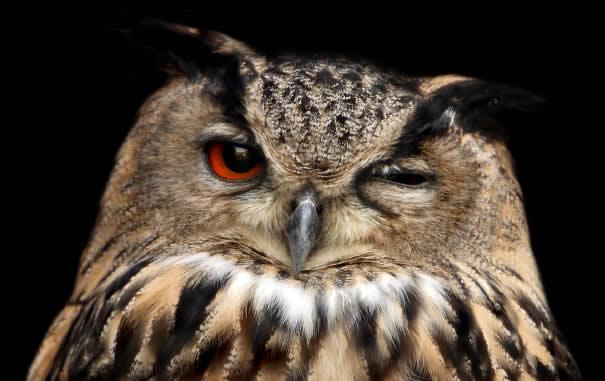 File:Winking owl.jpg