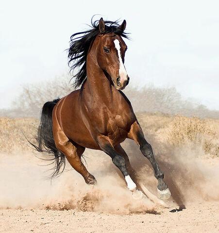File:Arabian-horse8.jpg
