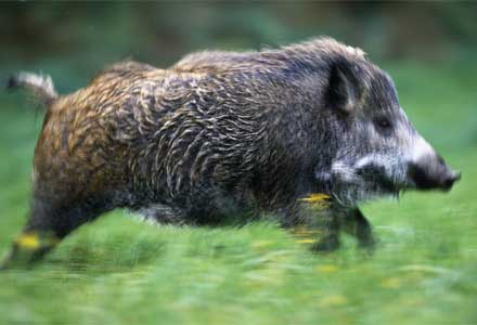 File:Boar.jpg