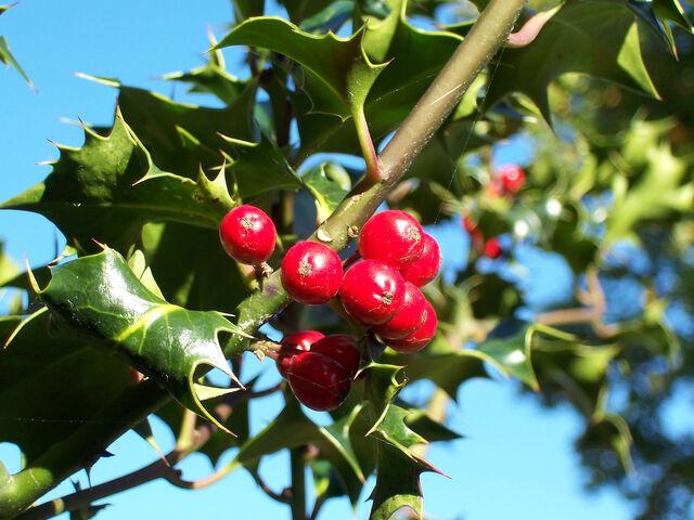 File:Ilex-aquifolium (Europaeische Stechpalme-1.jpg