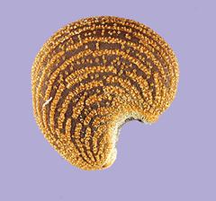 Semilla de Abelmosco Foto: Tracey Slotta @ USDA-NRCS PLANTS Database
