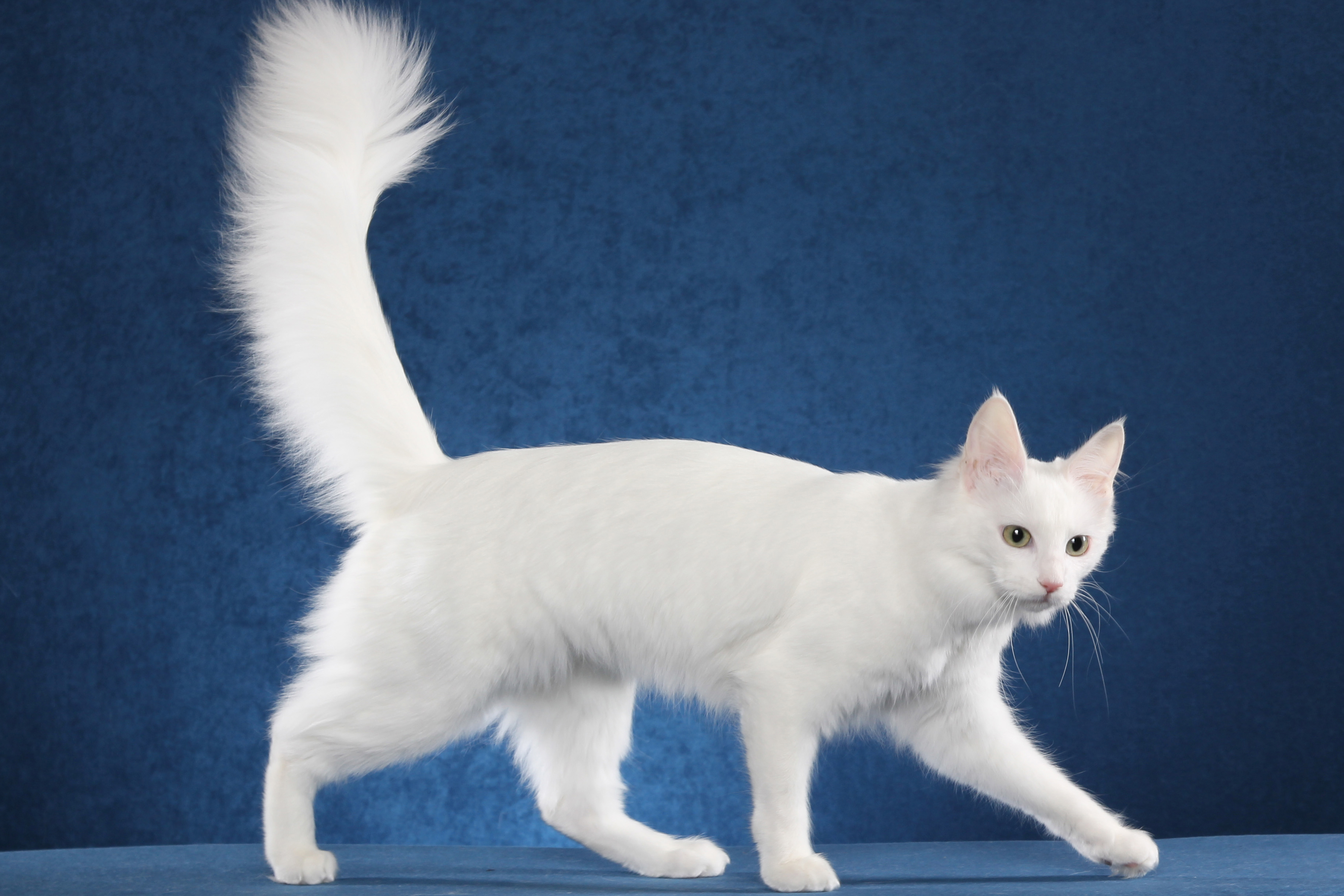 92a3f669a1 The Antlered Crown  My Favorite Cat Breeds  Turkish Angora