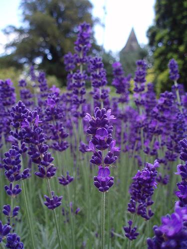 image lavender bluejpg home wiki fandom powered by