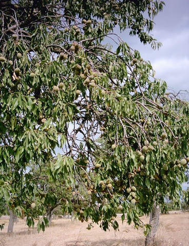 File:Wikialmond.png