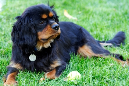 File:Cavalier King Charles Spaniel Dog Breed.jpg