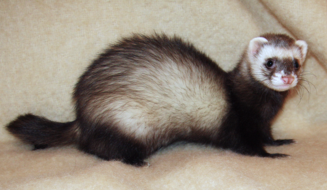 File:Ferret.jpg.png