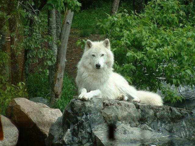 File:Whitewolf.jpg