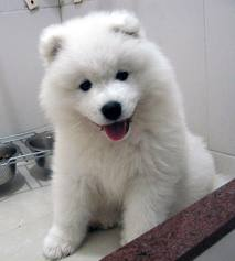 File:Samoyed.jpg