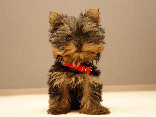 File:Teacup-Yorkie-Puppies.jpg