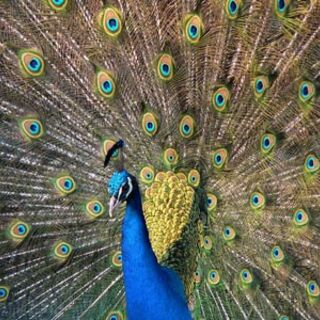 The Indian Peacock is <b>India's national bird.</b>
