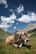 CH cow 2