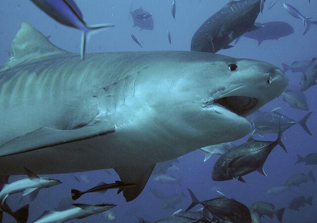 File:Tubarão tigre.jpg