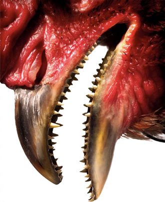 File:Chicken teeth.jpg