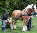 Koń Sztumski