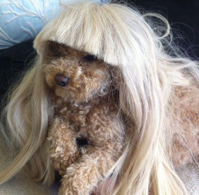 Lady Gaga Dog Fozzi Breed