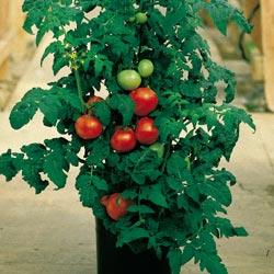 File:Tomato plant.jpg