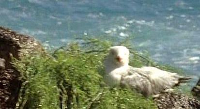 Archivo:3x12-seagull-on-nest.jpg
