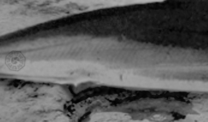 Archivo:Shark-closeup.jpg