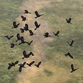 File:Murder of Crows.jpg