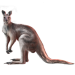 Item westernaustraliankangaroo 01