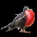 Item frigatebird 01