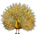 Golden Peacock