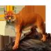Item africangoldencat 01