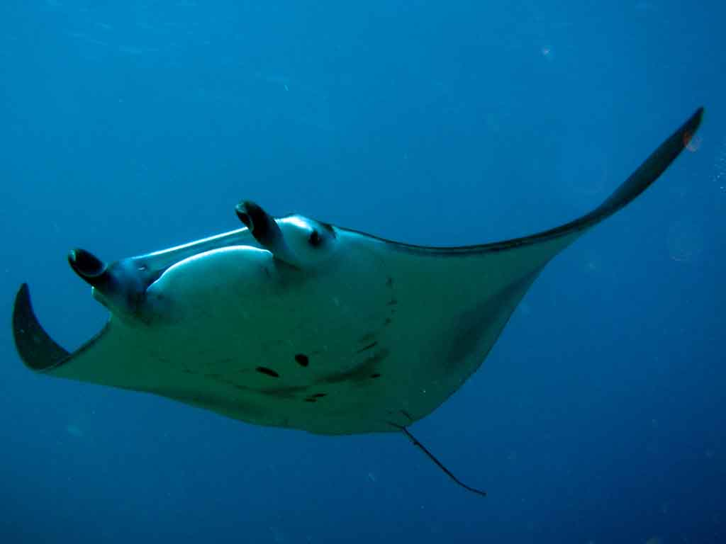 Manta Ray | Marine Wiki | Fandom powered by Wikia Pacific Ocean Underwater Animals