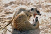 Juvenile meerkats playfighting