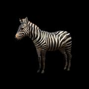 Zebra 52bf369705e8