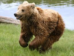 File:Earasian brown bear.jpg