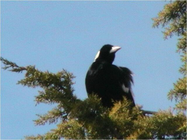 File:Magpie.jpg