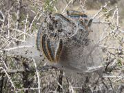 800px-Western tent caterpillars Malacosoma californicum in Joshua Tree NP