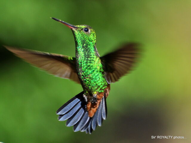 File:Hummingbirds 129.jpg