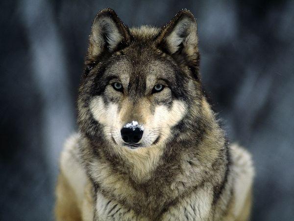 File:Grey-wolf 565 600x450.jpg