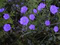 Blue flax -3-.jpg