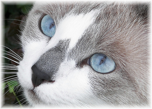 White Cat With Ice Blue Eyes