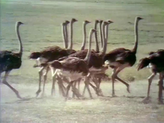 File:Ostrichfilm.jpg