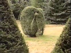 Peacock-bush