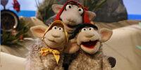 Baabra Sheep