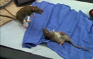 Rats-drdolittle