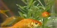 Bert's goldfish