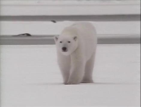 File:Song.Polarbear.jpg