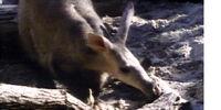 I'm an Aardvark