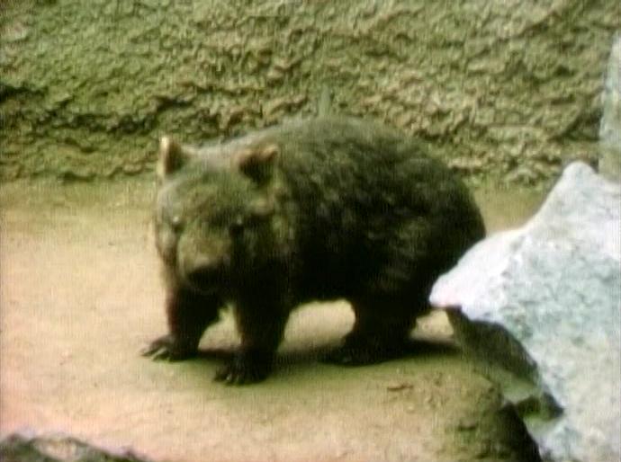 File:Wombat.jpg